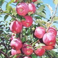 Яблуня Флоріна фото