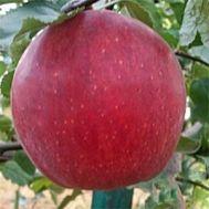 Яблуня Джонагоред Моренс фото