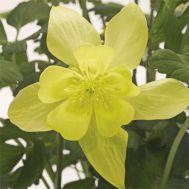 Аквілегія Spring Magic Yellow фото