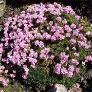 Армерія Juniperifolia фото