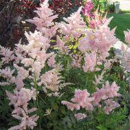 Астільба Peach Blossom фото