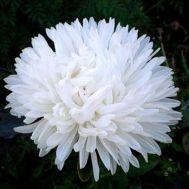 Айстра Піоновидна біла фото