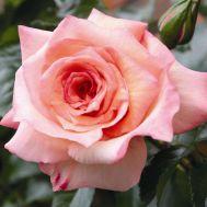 Троянда Barock фото