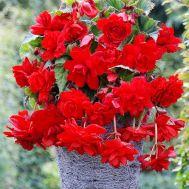 Бегонія Cascade Scarlet 25 фото