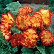 Бегонія Crispa Marginata жовто-червона  фото