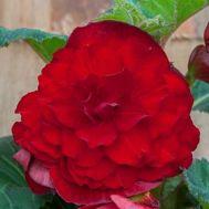 Бегонія махрова темно-червона 25 фото