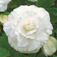 Бегонія махрова біла фото