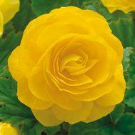 Бегонія махрова жовта фото
