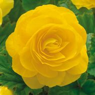 Бегонія махрова жовта 25 фото