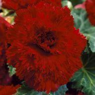 Бегонія Fimbriata Темно-червона фото