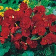 Бегонія Multiflora Maxima темно-рожева фото