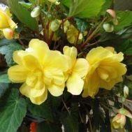 Бегонія Multiflora Maxima жовта фото