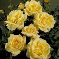 Троянда Bella фото