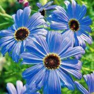 Брахікома блакитна фото