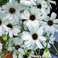 Брахікома біла фото