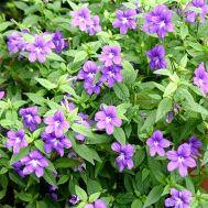 Бровалія Bells Blue фото