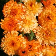 Календула Tangerine Cream фото