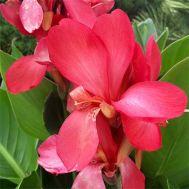 Канна Tropical Rose фото