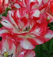 Тюльпан Cartouche фото