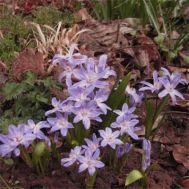 Хіонодокса Violet Beauty фото