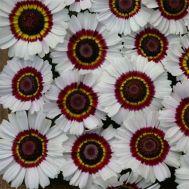 Хризантема Bright Eye фото
