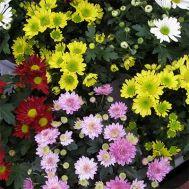 Хризантема Веселка суміш фото