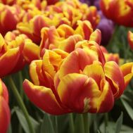 Тюльпан Cilesta фото