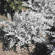 Цинерарія Silverdust фото