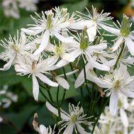 Клематіс Terniflora фото