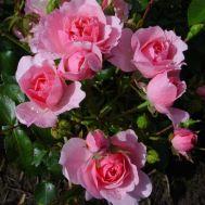 Троянда Climbing Bonica фото