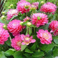 Жоржина Melody Pink Allegro фото