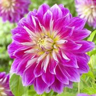 Жоржина Purple Explosion фото