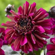 Жоржина Purple Haze фото