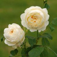 Троянда Claire Austin фото