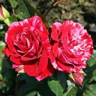 Троянда Deep Impression фото