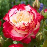 Троянда Double Delight фото