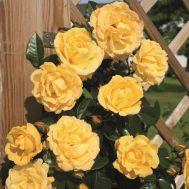 Троянда плетиста Dukat фото