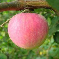 Яблуня Ерлі Женева фото