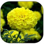 Чорнобривці Еквінокс лимонні фото
