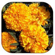 Чорнобривці Еквінокс помаранчеві фото