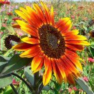 Соняшник Пакито Колорадо суміш фото