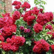 Троянда Flamentanz фото