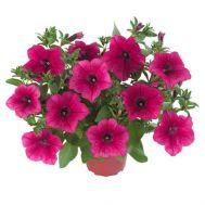 Петунія Fortunia Hot Pink фото