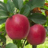 Яблуня Гала Шніга фото
