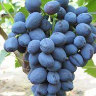 Виноград Забава фото