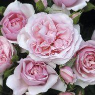 Троянда Natascha Richardson фото