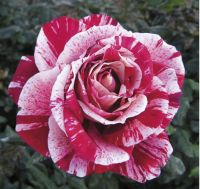 Троянда Rachel Louise Moran фото