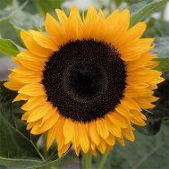 Соняшник Solara фото
