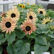 Соняшник Suntasctic Lemon Bicolor фото