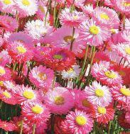 Геліптерум розеум Гулівер фото